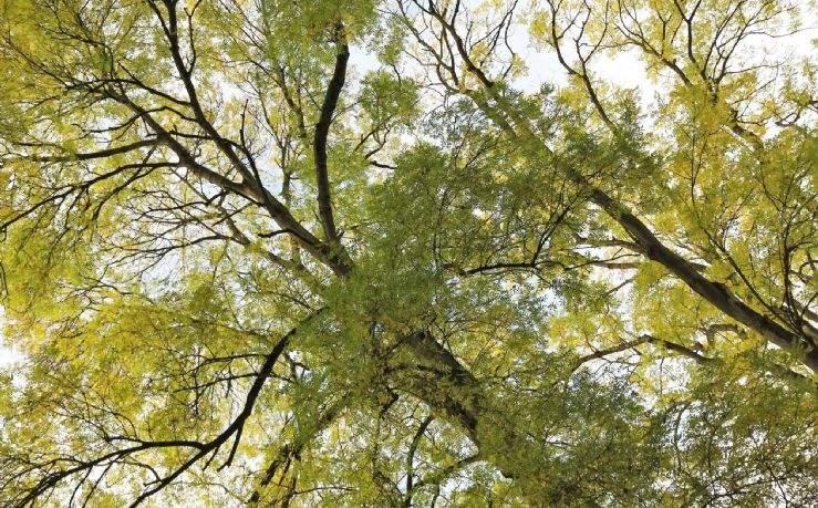 Healthy ash tree canopy