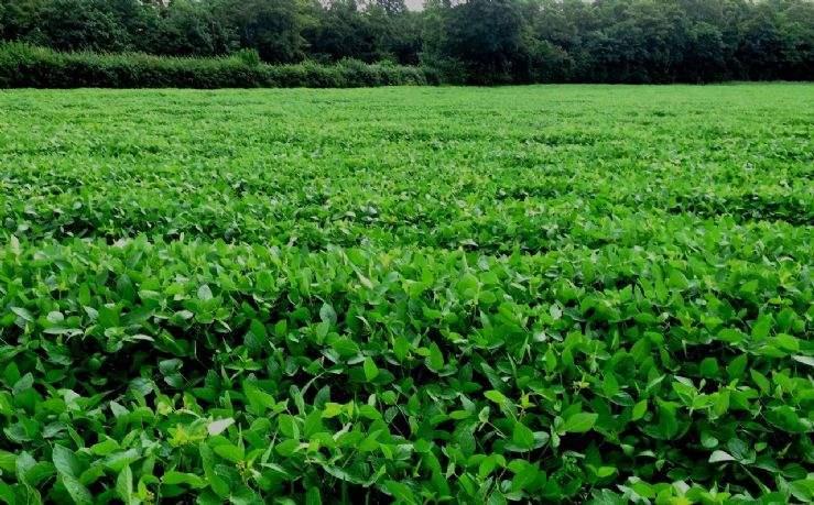 Soya crop