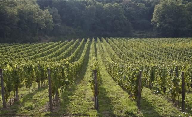 Vineyards, Podere Bella Vista, Tuscany